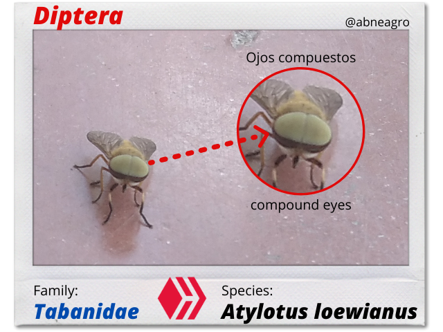 Diptera(3).png