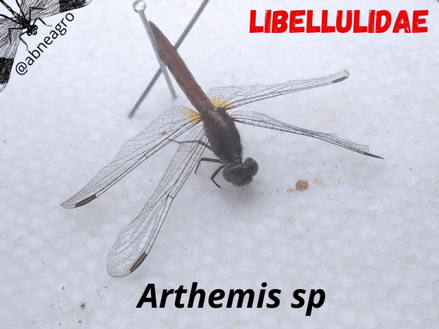 Libellulidae(2).png