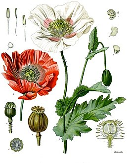 259px-Papaver_somniferum_-_Köhler–s_Medizinal-Pflanzen-102.jpg
