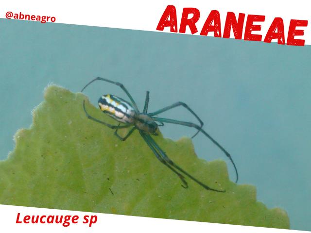 Araneae2.png