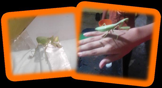 Mantis 3.png