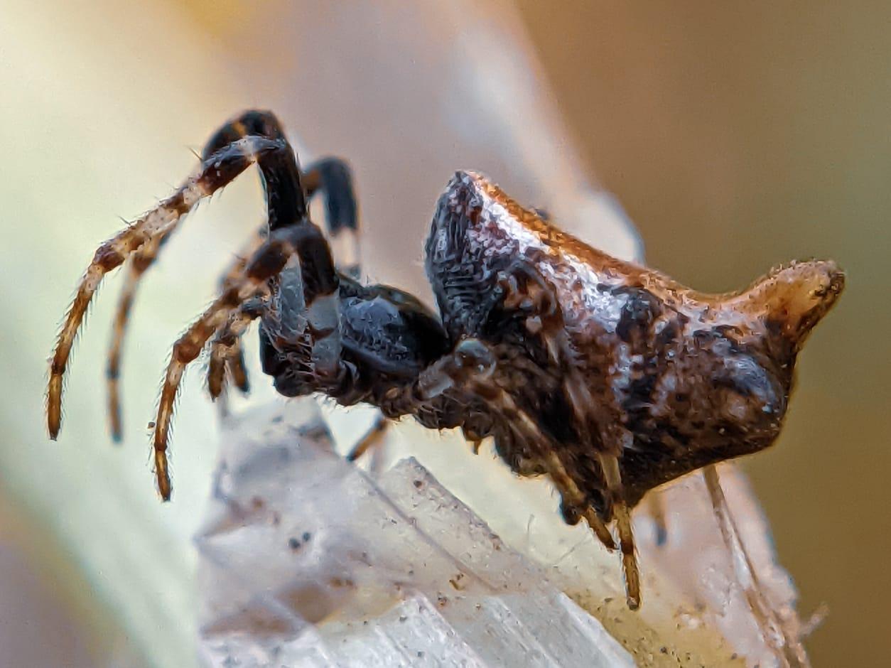 orb spider (5).jpeg