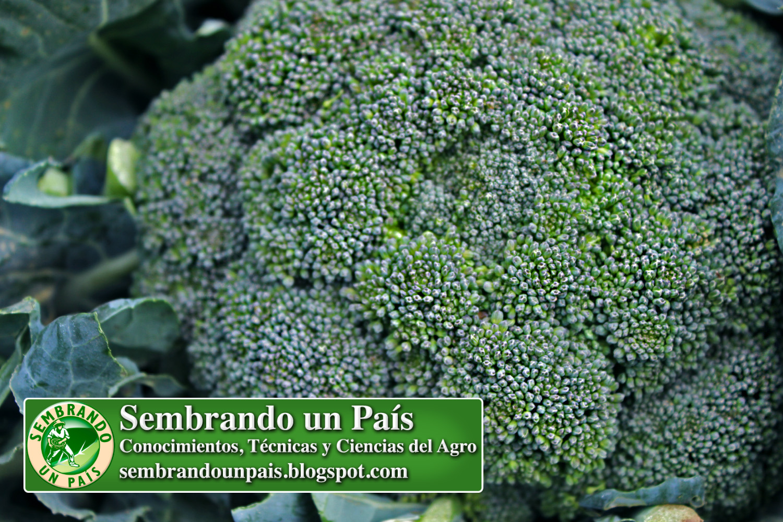 2 nutri brocoli.jpg