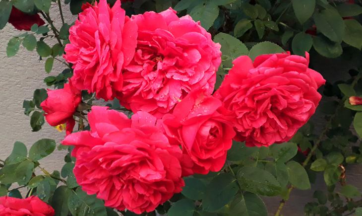 Rose260621_web.jpg