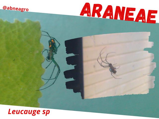 Araneae4.png