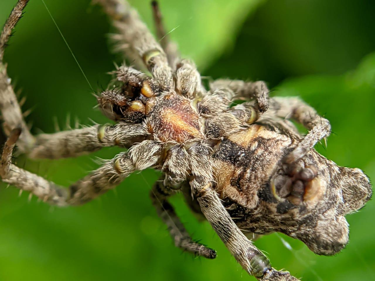 orb spider (1).jpeg