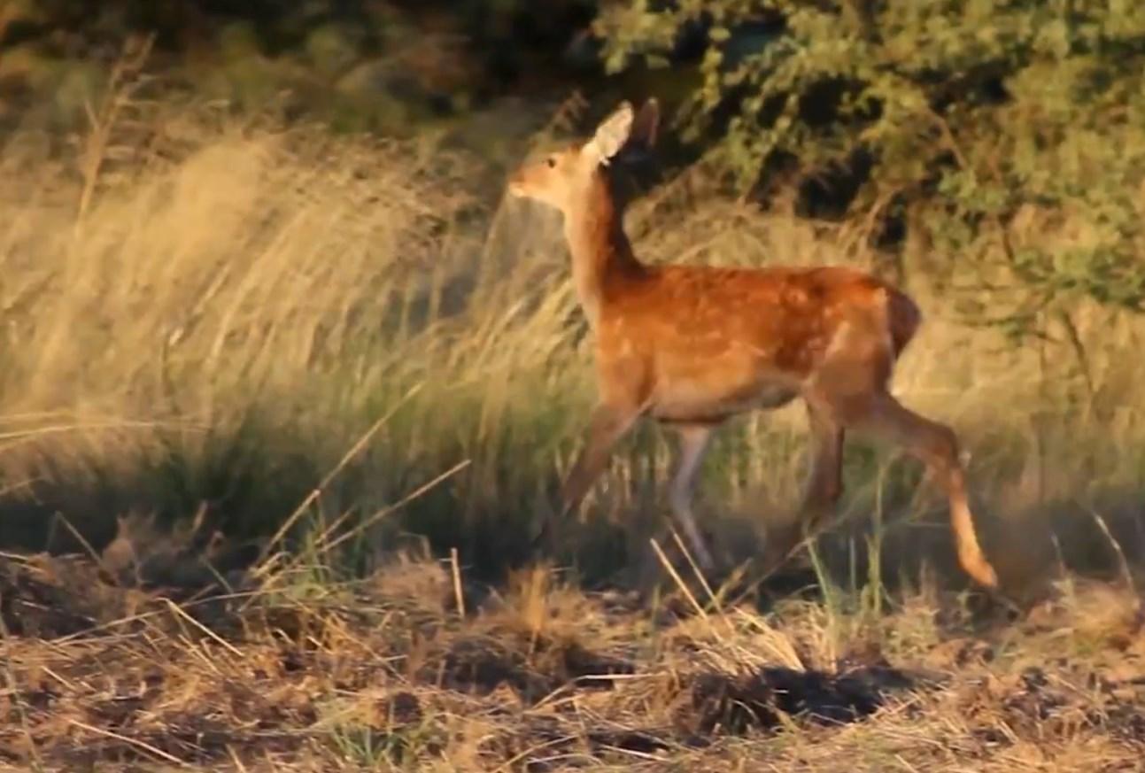 10.-La-brama-de-los-ciervos-colorados-12.jpg