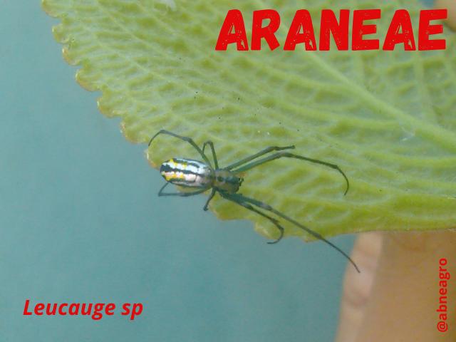 Araneae1.png