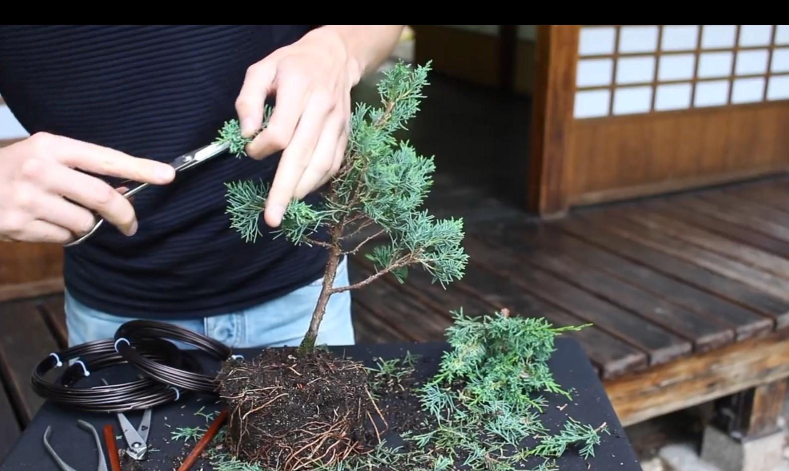 07.-Como-crear-un-bonsai-de-enebro-poda.jpg