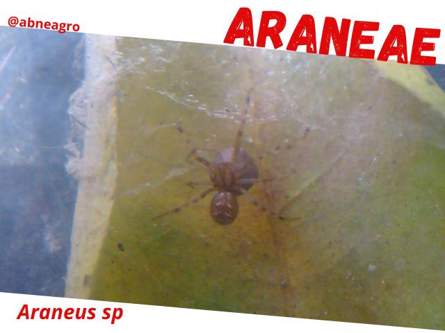 Araneae6.png