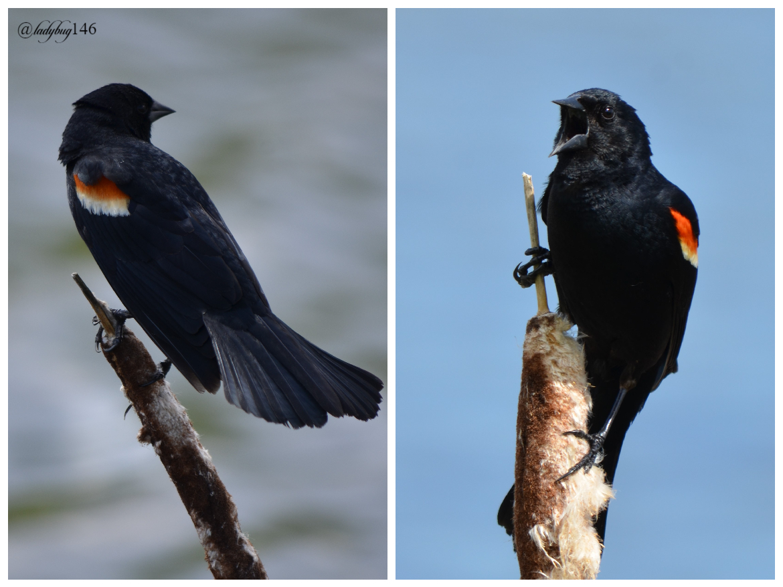 red-winged blackbird2.jpg