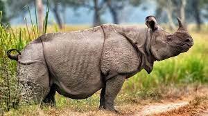 rinoceronte de java 2.jpeg