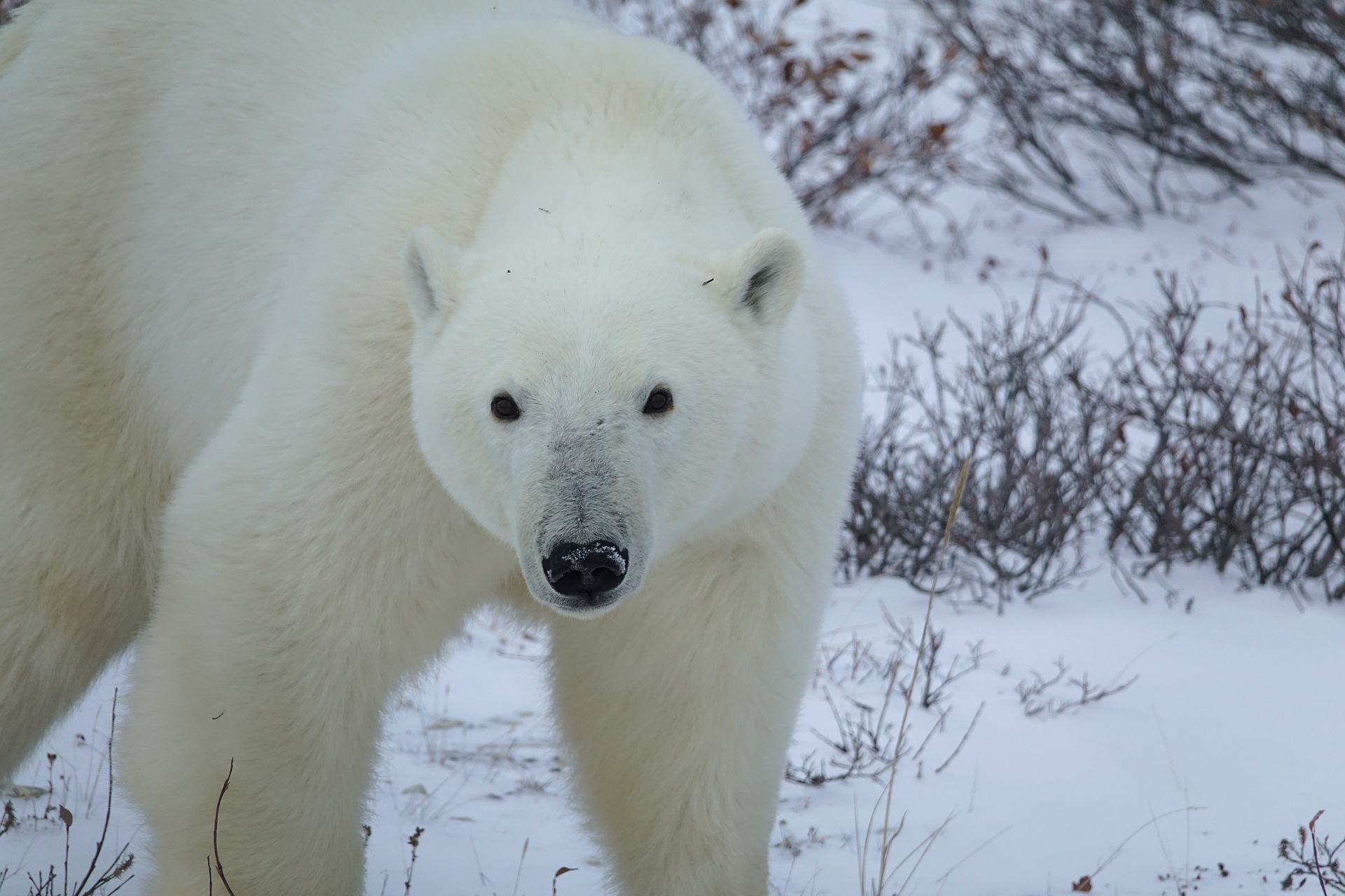 oso polar 2.jpg