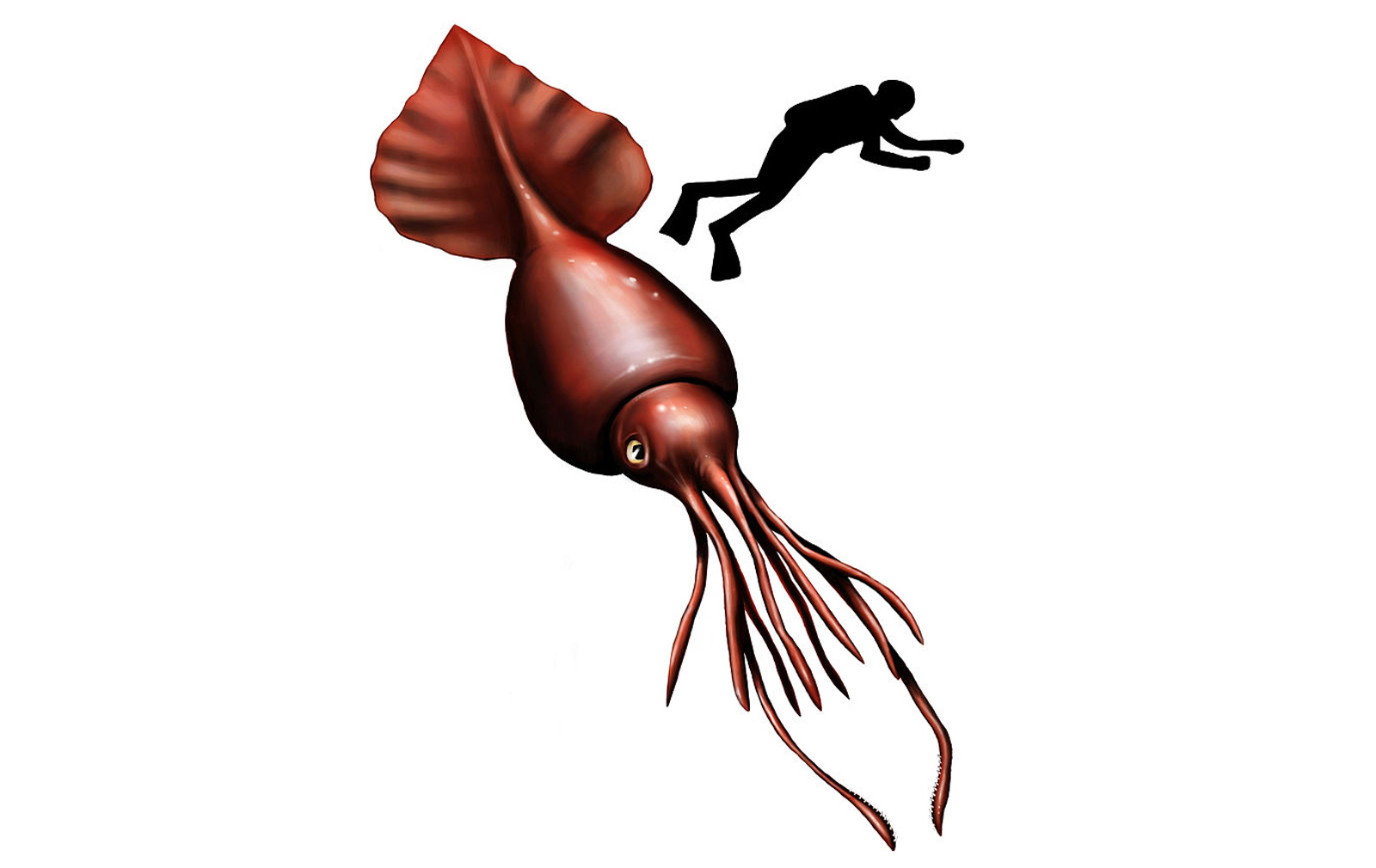 colossal squid oceana org.jpg