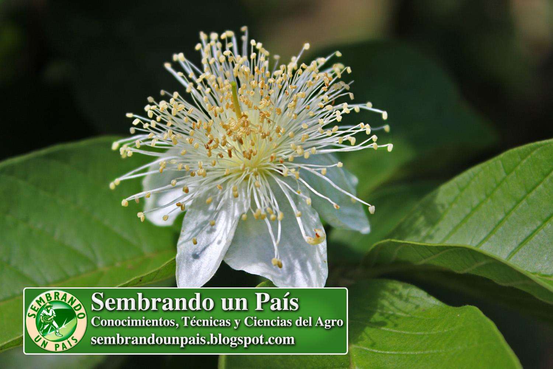 1 La Flor de la Guayaba.jpg