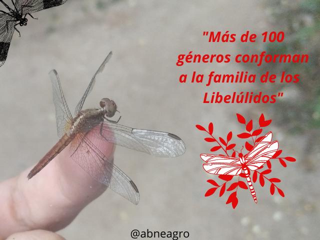 Libellulidae(1).png