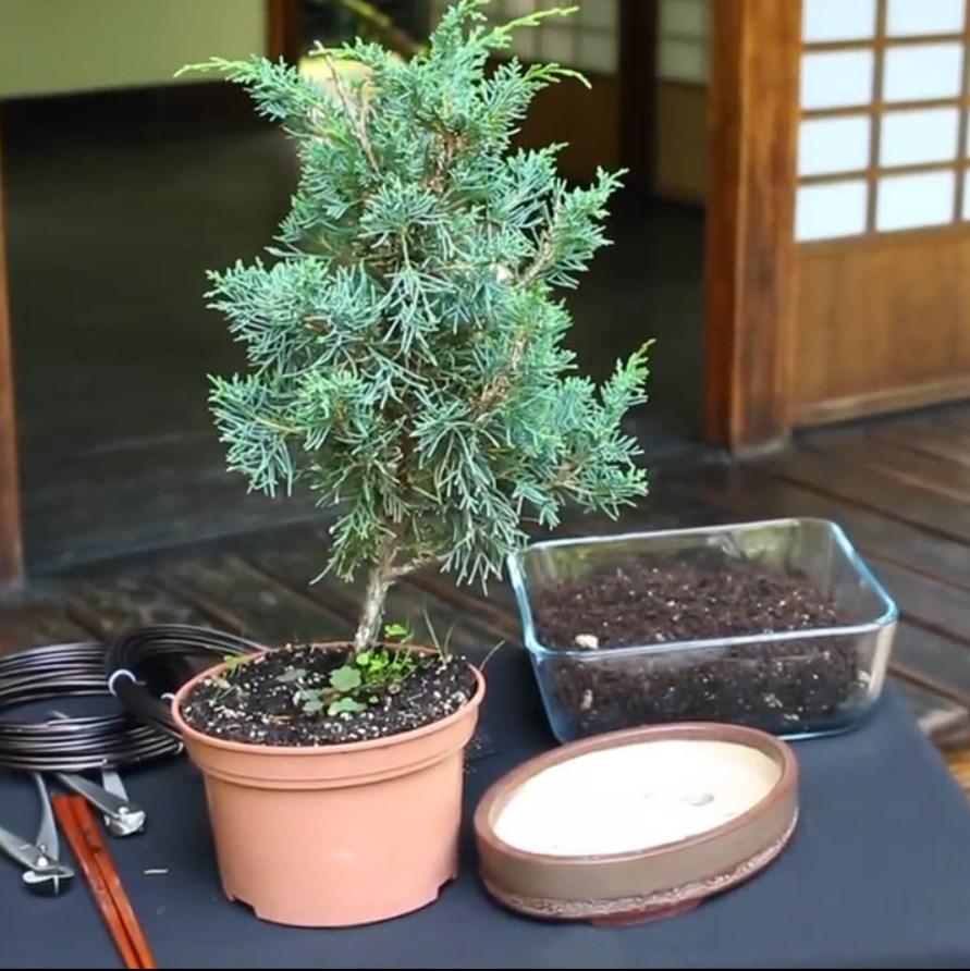 07.-Como-crear-un-bonsai-de-enebro-antes-de-la-limpieza.jpg