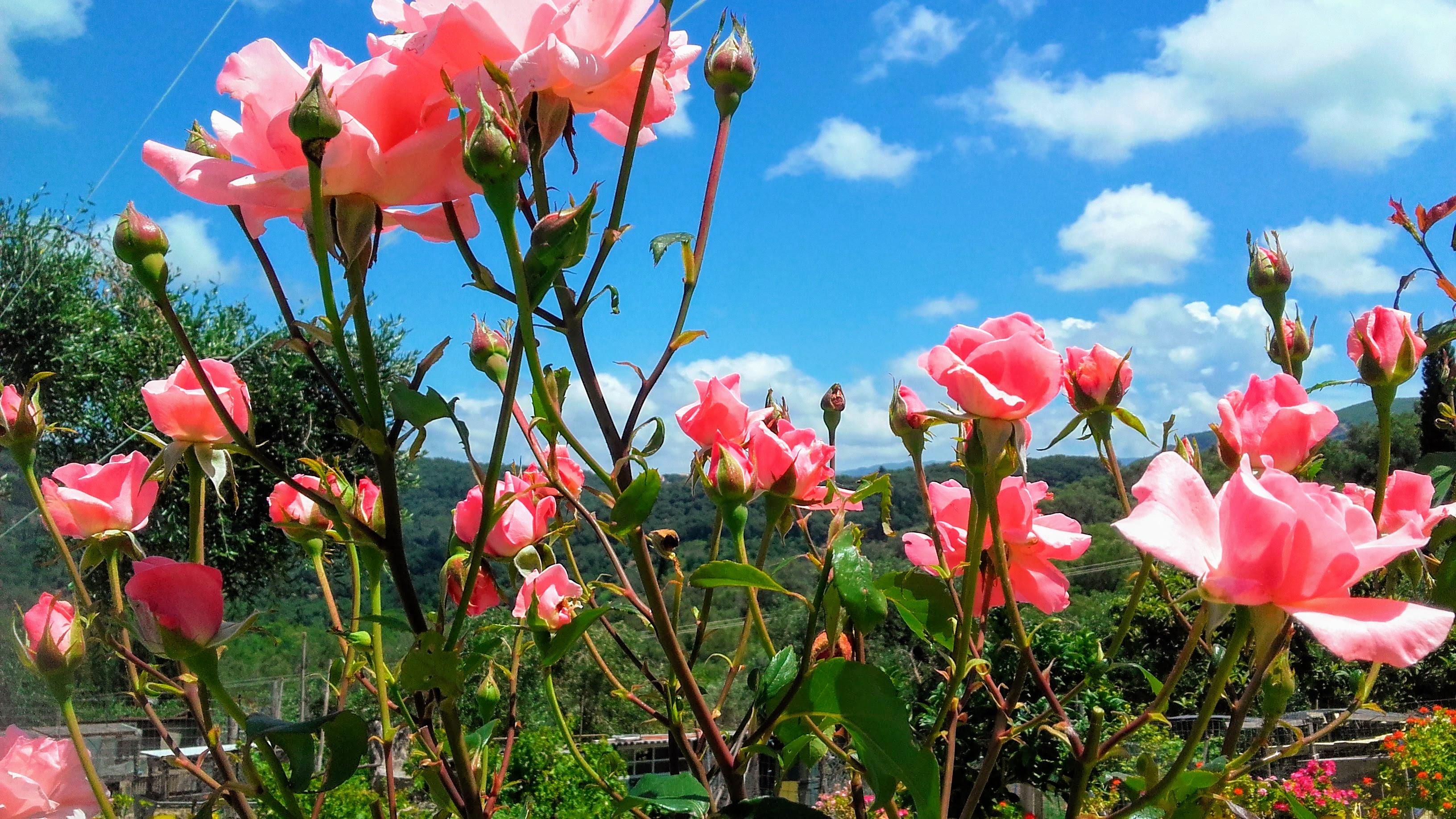 róże basen.jpg