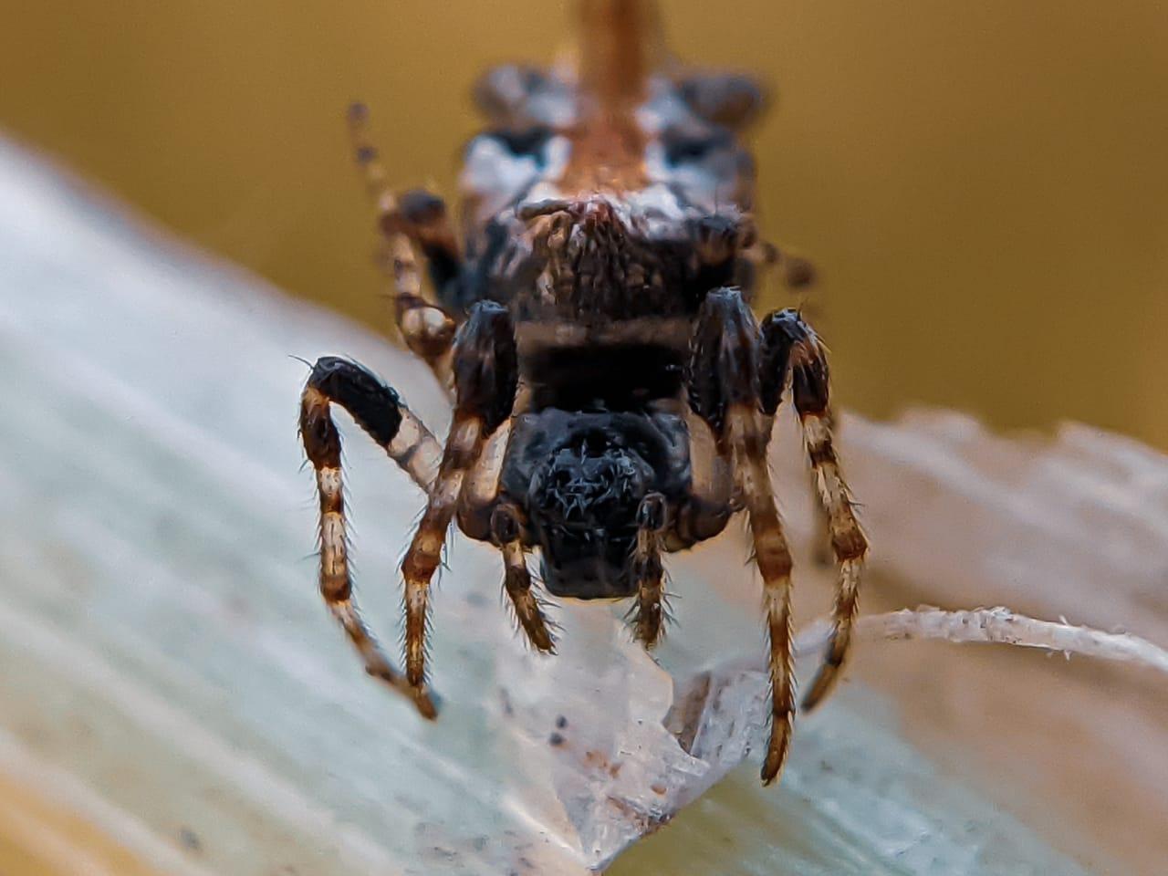 orb spider (3).jpeg