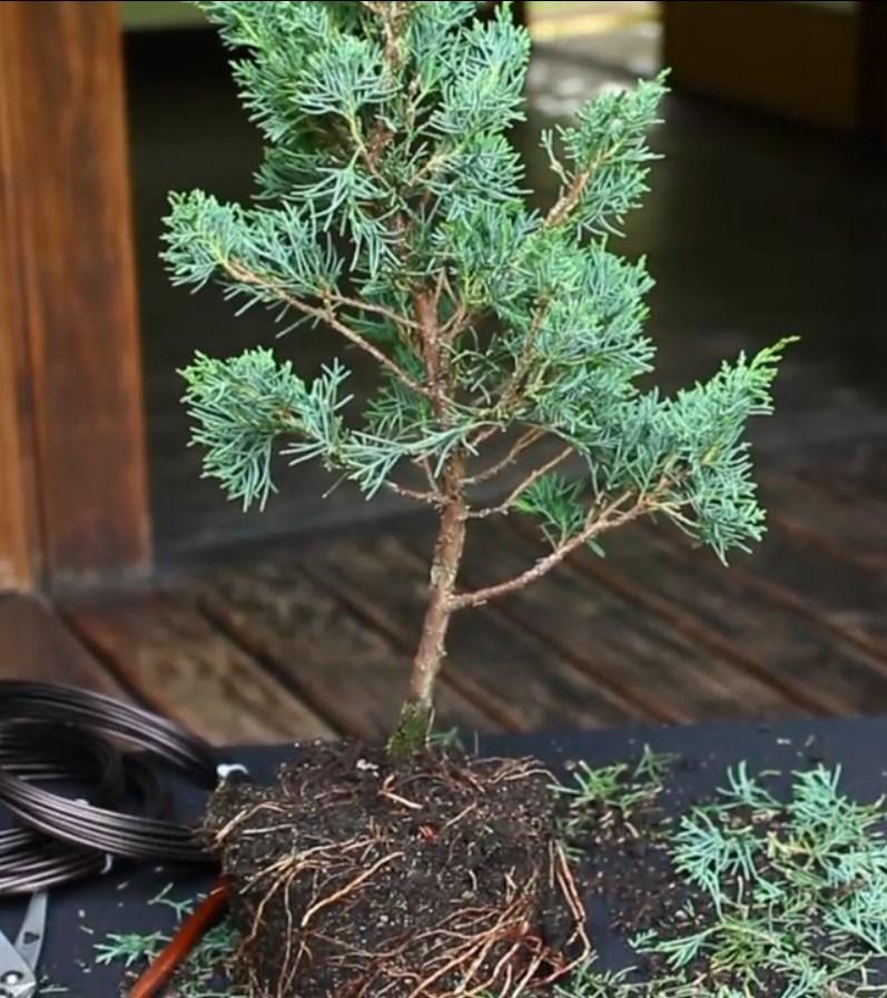 07.-Como-crear-un-bonsai-de-enebro-despues-de-la-limpieza.jpg