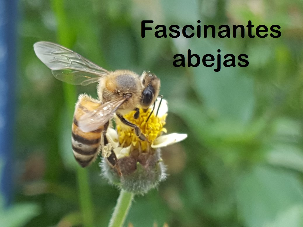 fascinantes abejas .jpg