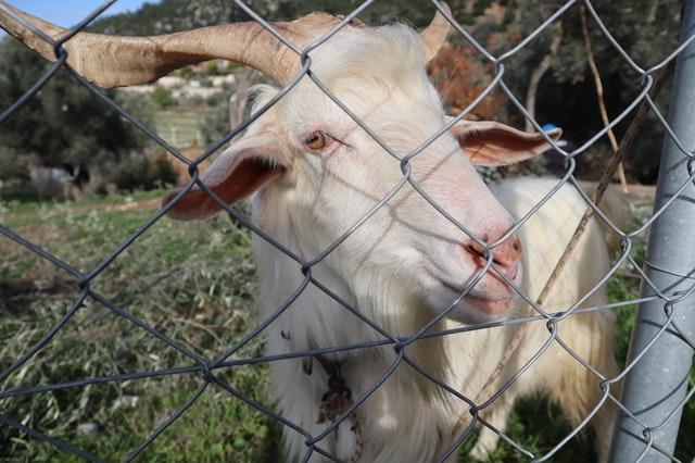 animal-animal-photography-goat-domestic-goat-4576170.jpg