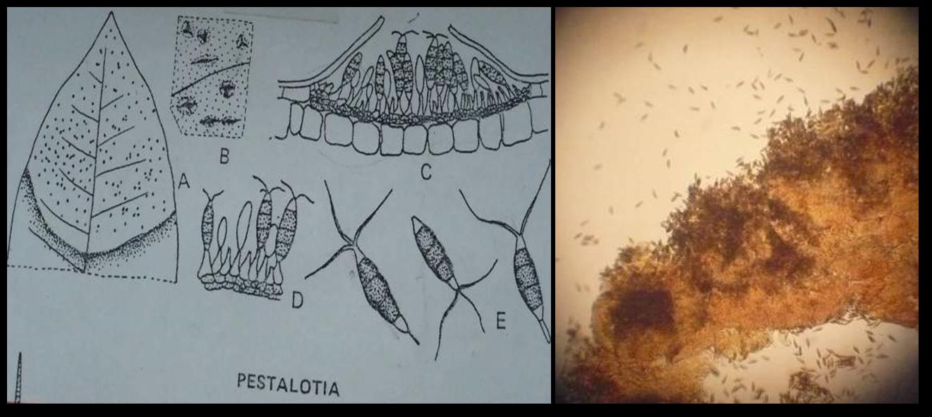Pestalotia.png