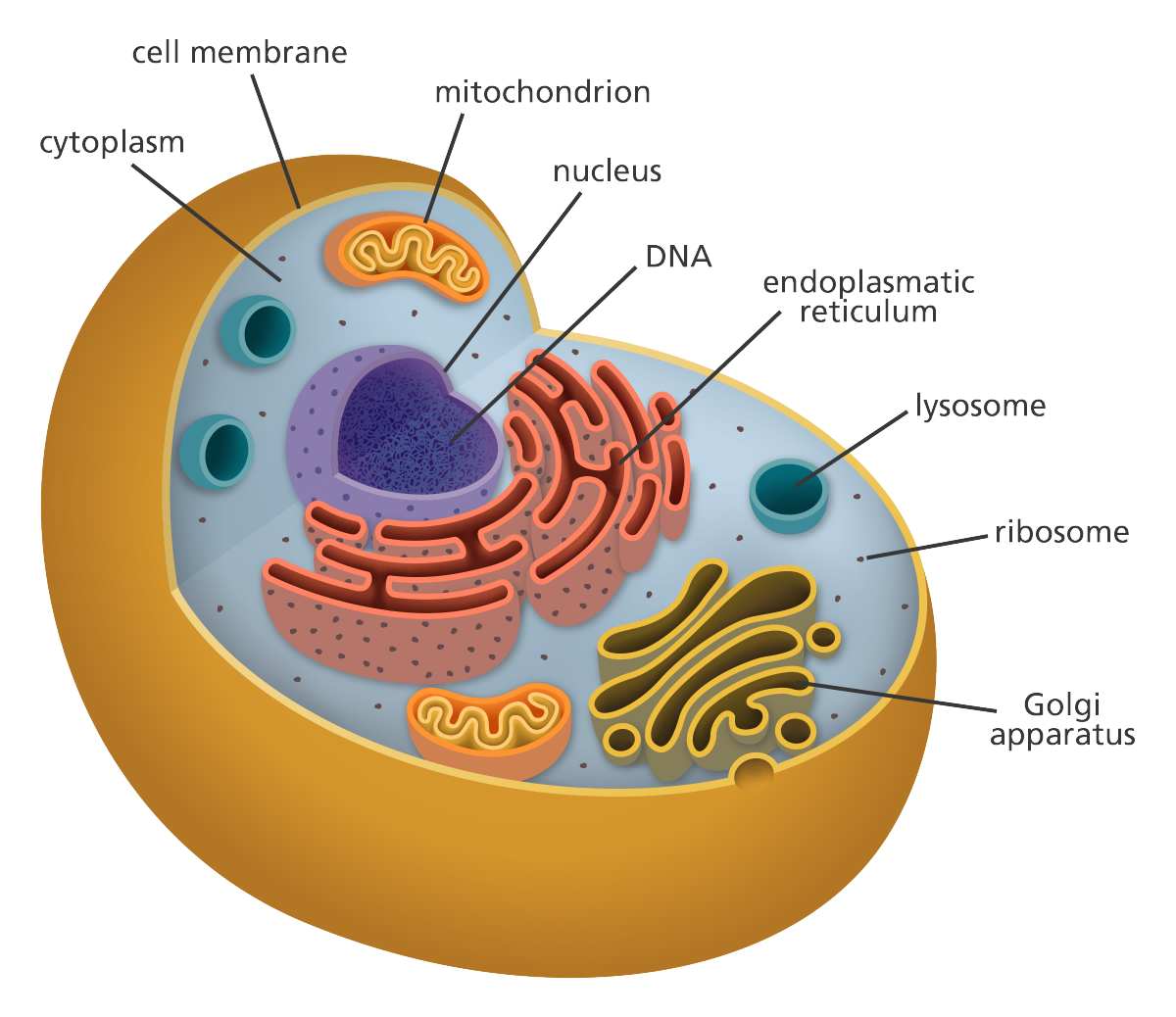 cell_diagram_yourgenome.png