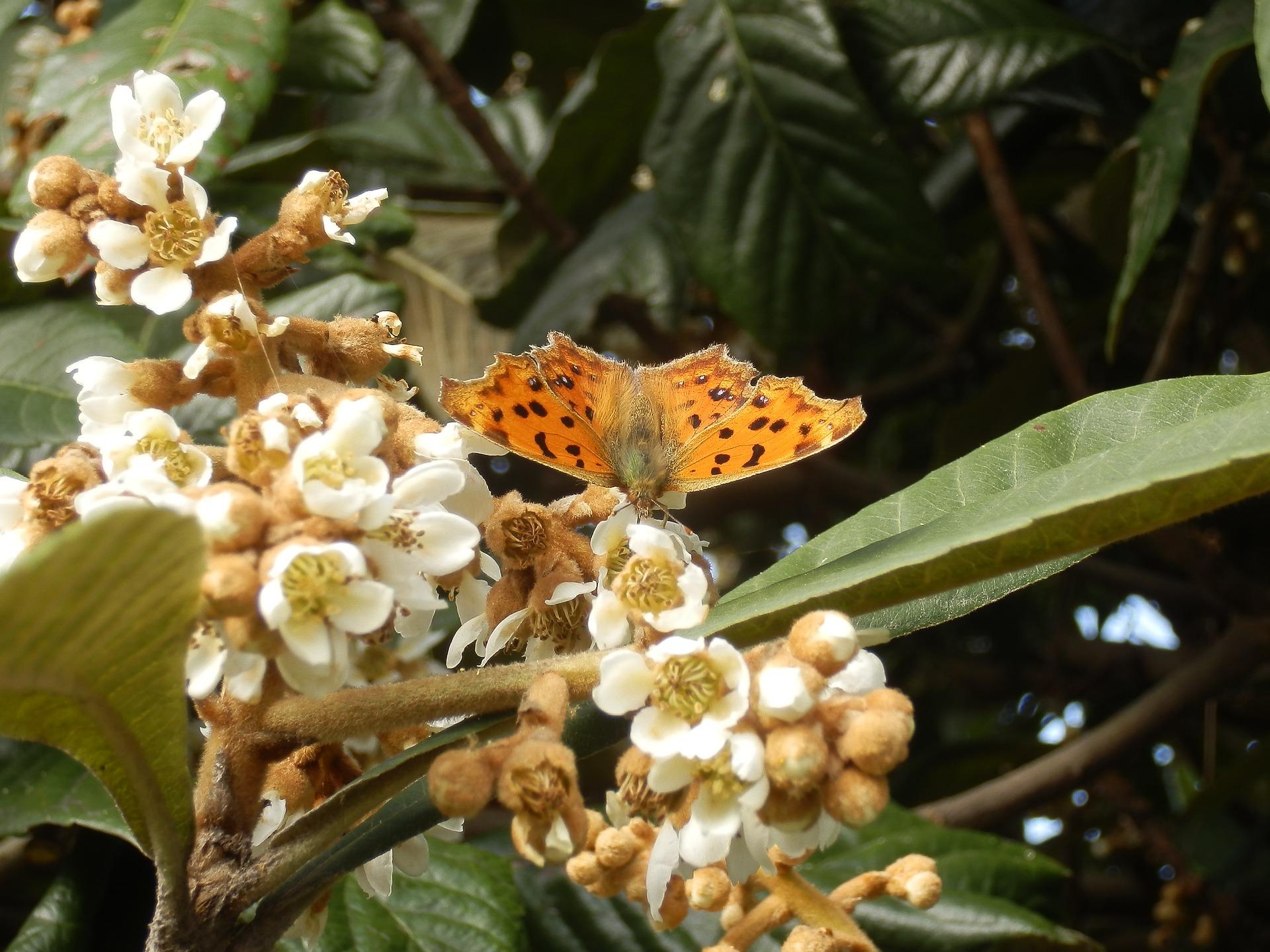 nymphalidae-1858495_1920 pixabay.jpg