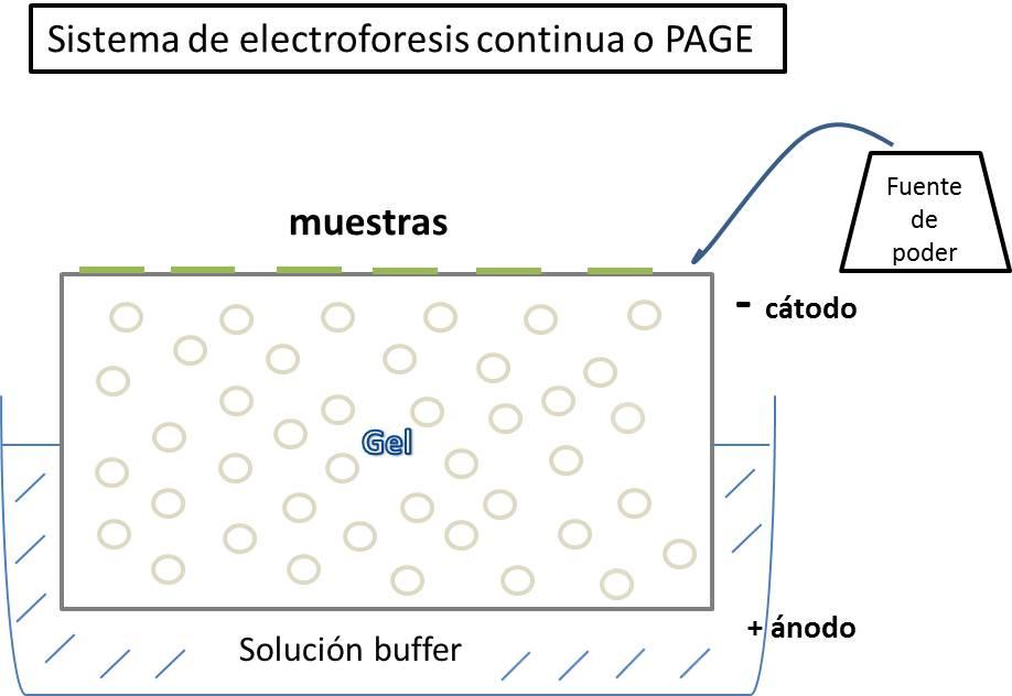 electroforesis PAGE.jpg