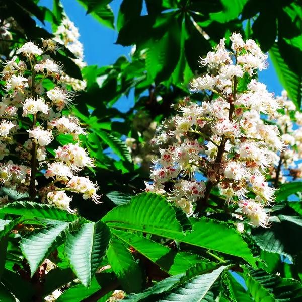 Do you have repetitive thoughts that torment you? White Chestnut of Bach Flowers.¿Tiene pensamientos repetitivos que lo atormentan? Castaño Blanco de las Flores de Bach. — Hive