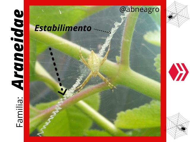 Araneidae(4).png