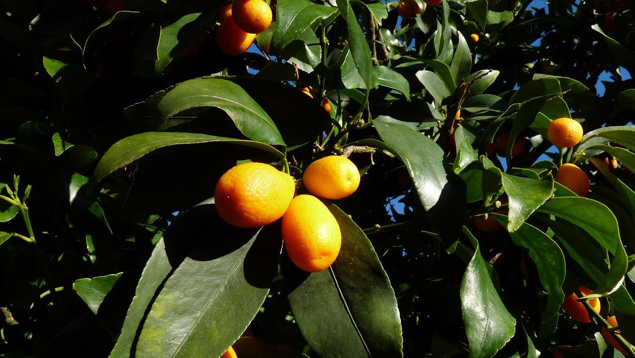 kumquat-2852236_1280.jpg