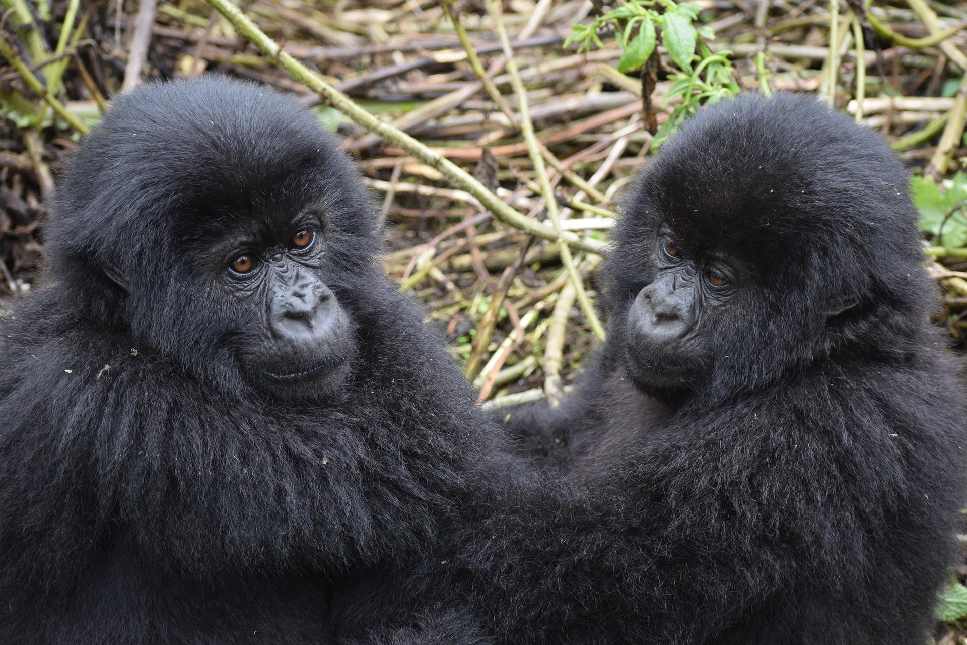 gorila de montaña.jpg