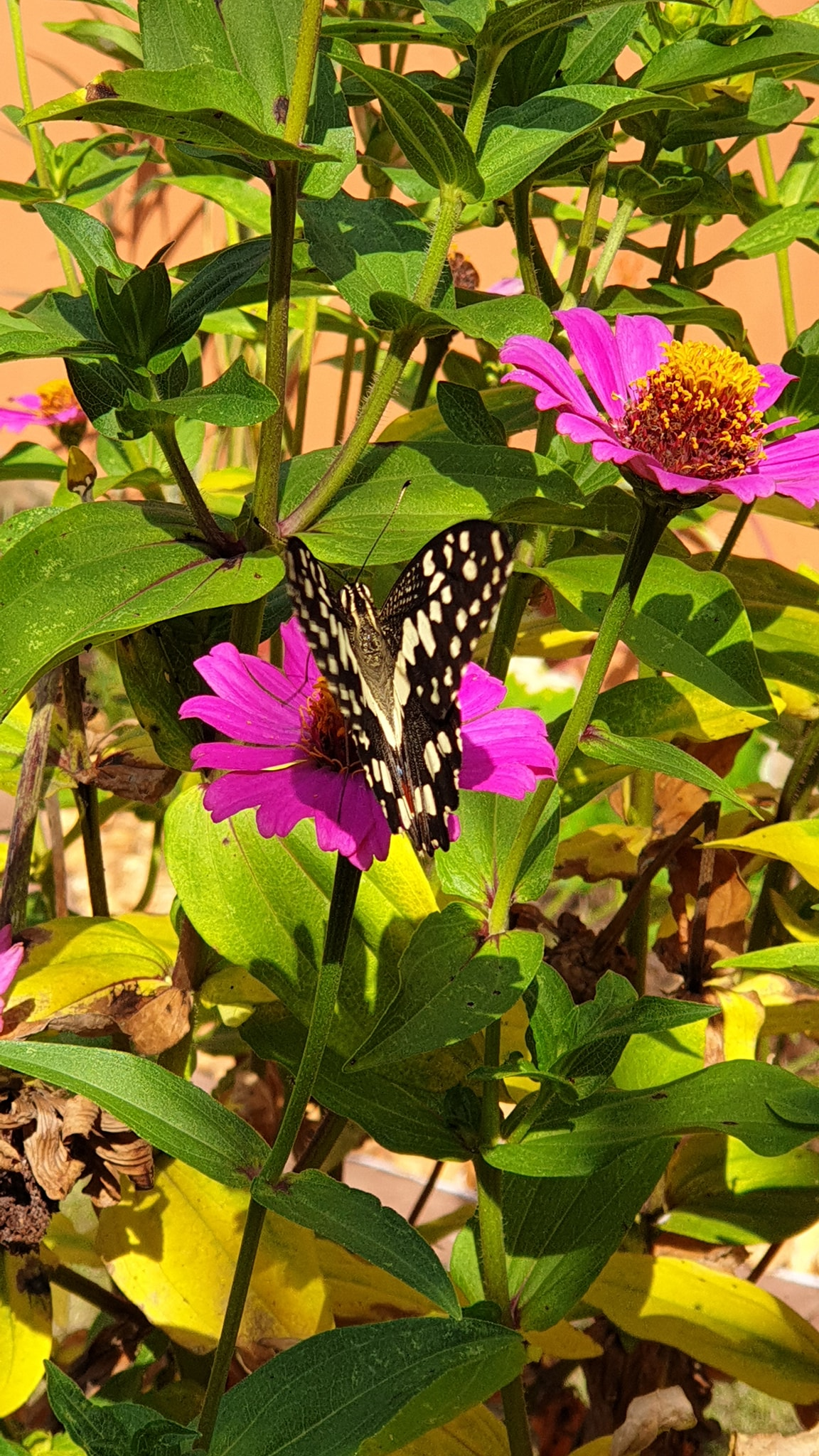 butterfly and flower zinias.jpg