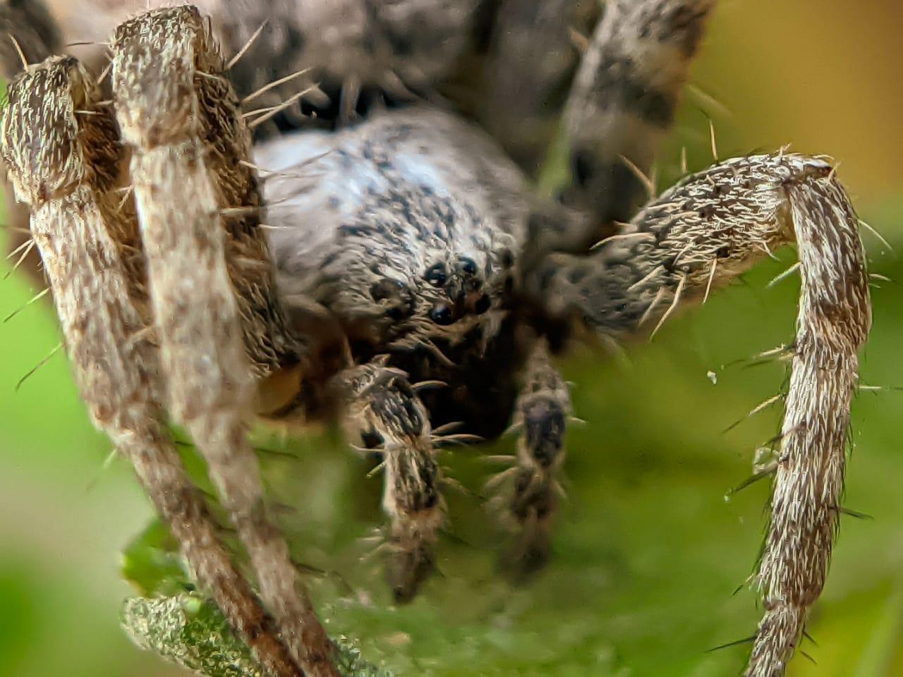 orb spider (6).jpeg