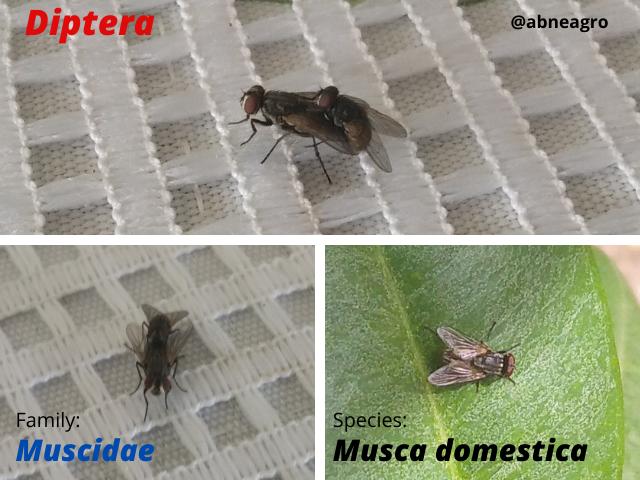 Diptera(6).png