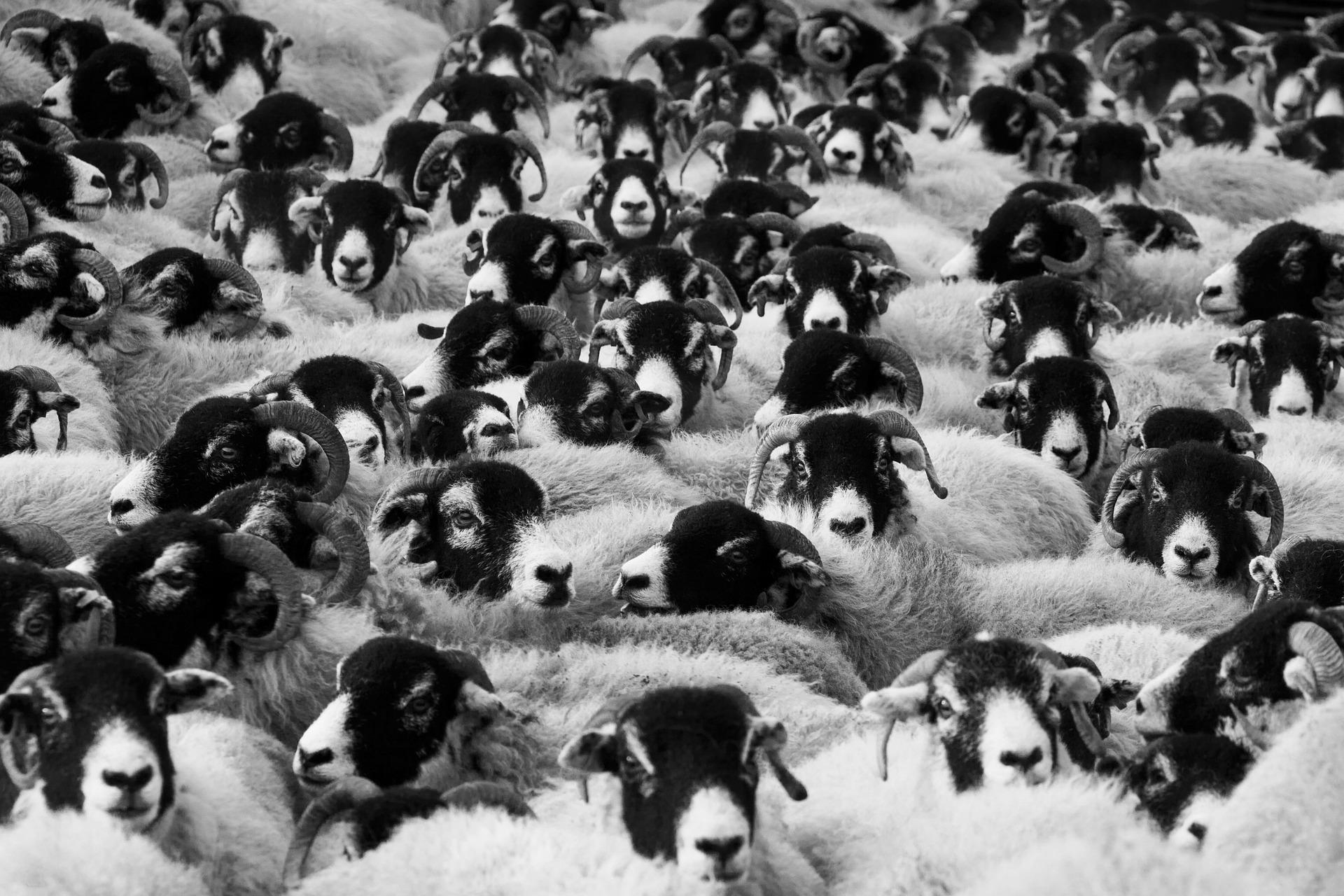 livestock-17482_1920.jpg
