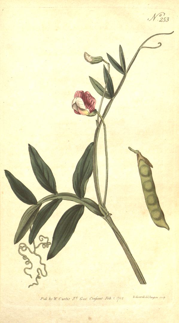 598px-The_Botanical_Magazine,_Plate_253_(Volume_8,_1794).png