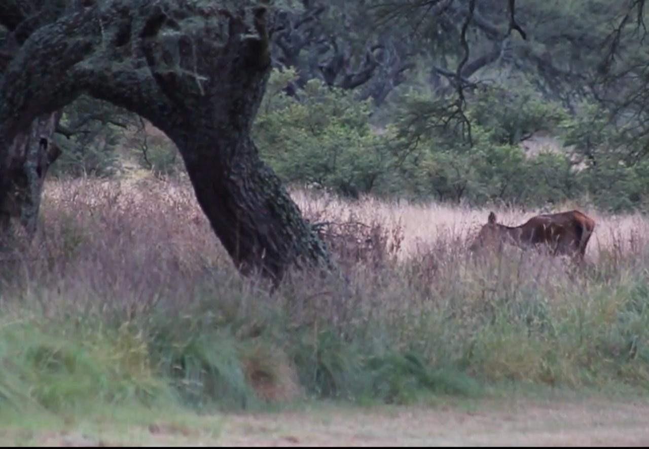 10.-La-brama-de-los-ciervos-colorados-15.jpg