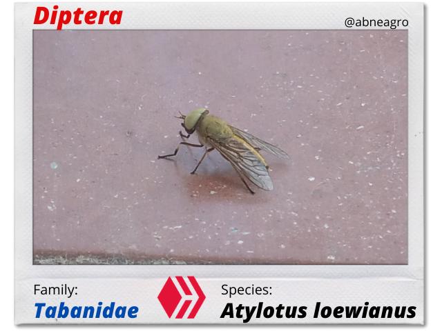 Diptera(2).png