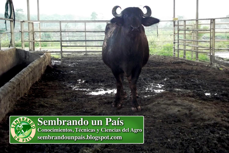 2 una experiencia con búfalos.jpg