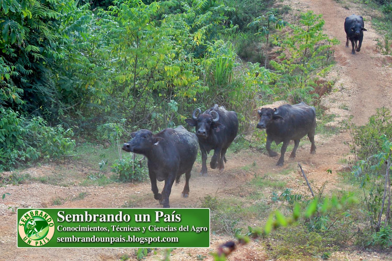 9 una experiencia con búfalos.jpg