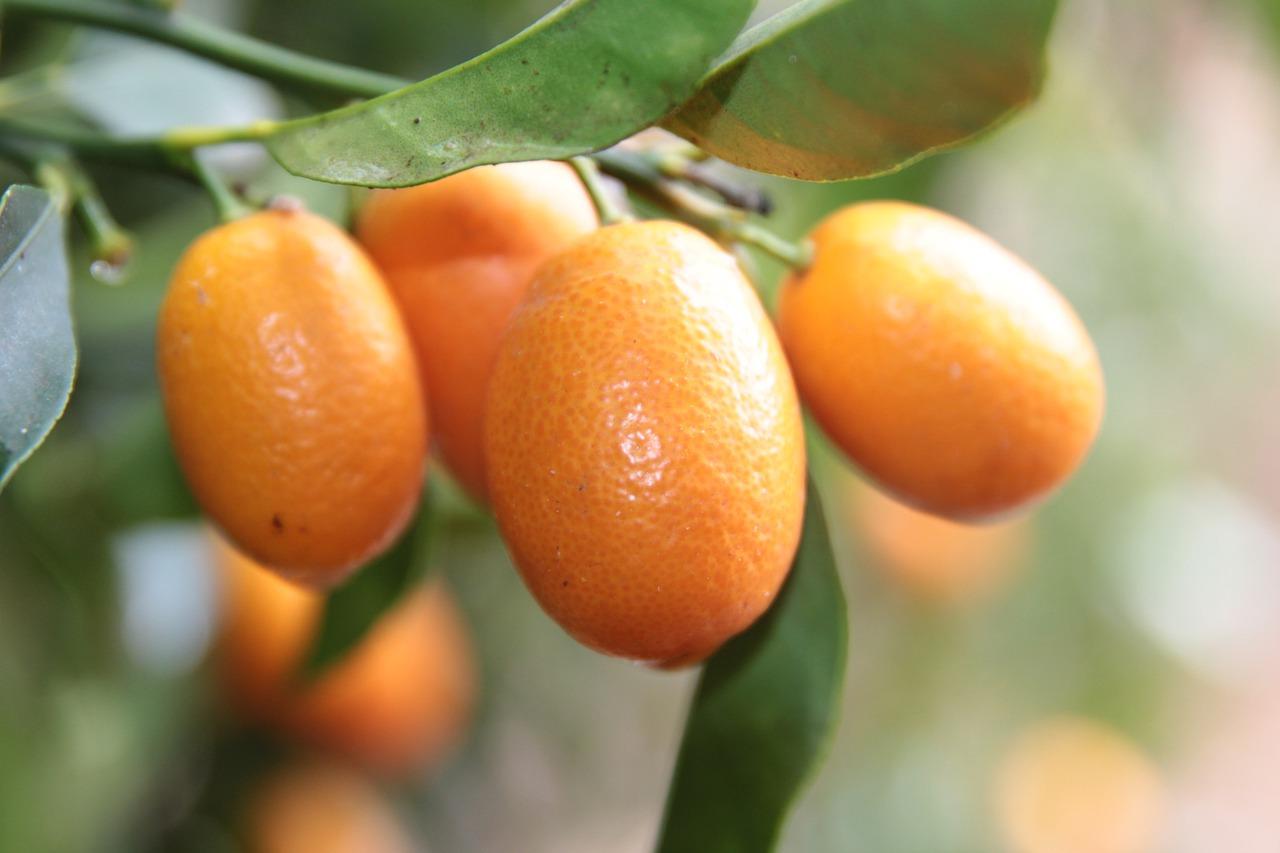 kumquat-4845602_1280.jpg