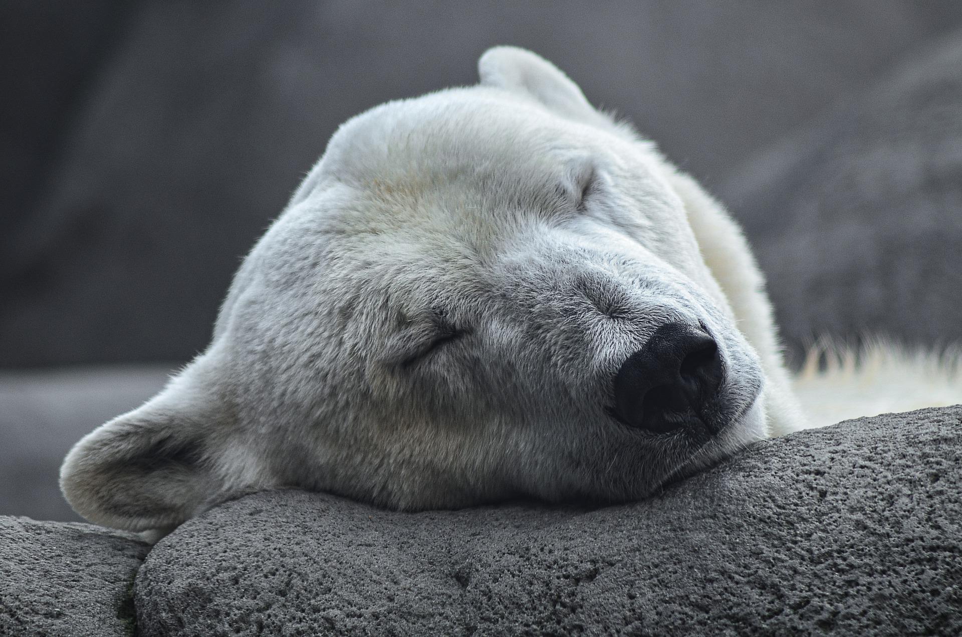 oso polar 4.jpg