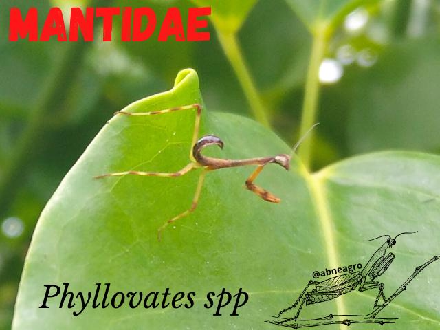 Mantidae portada.png