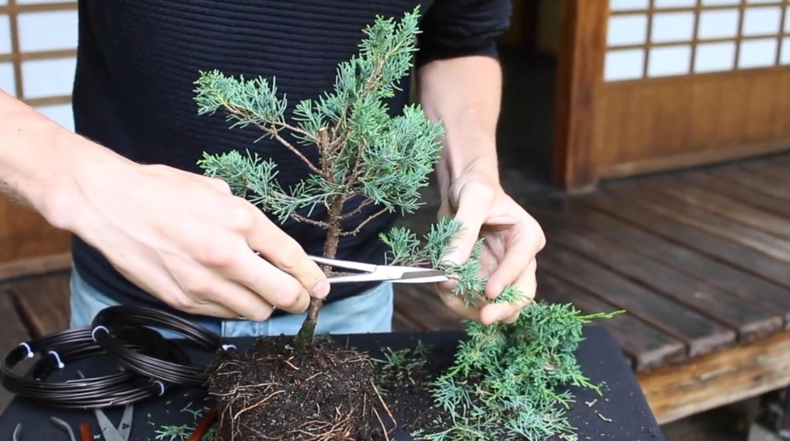 07.-Como-crear-un-bonsai-de-enebro-eliminacion-ramas-bajas.jpg
