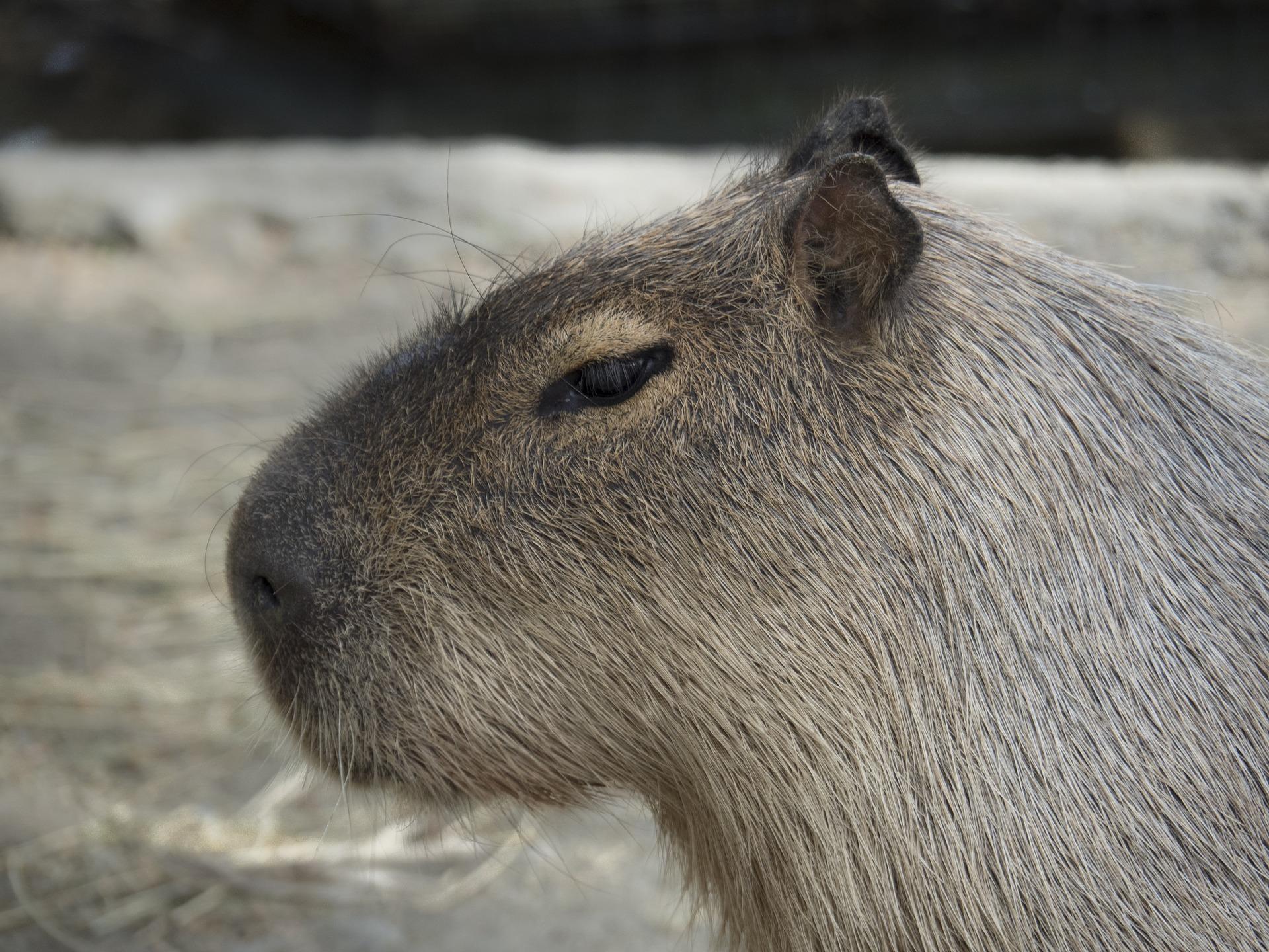 capybara-2235347_1920.jpg
