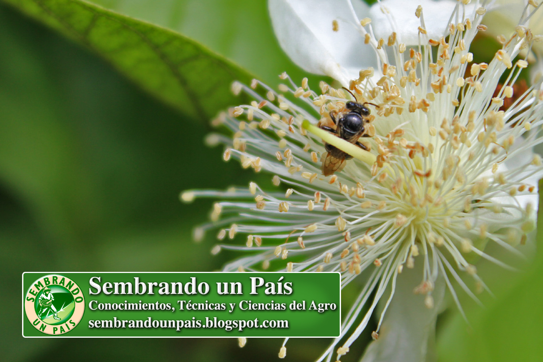 2 La Flor de la Guayaba.jpg