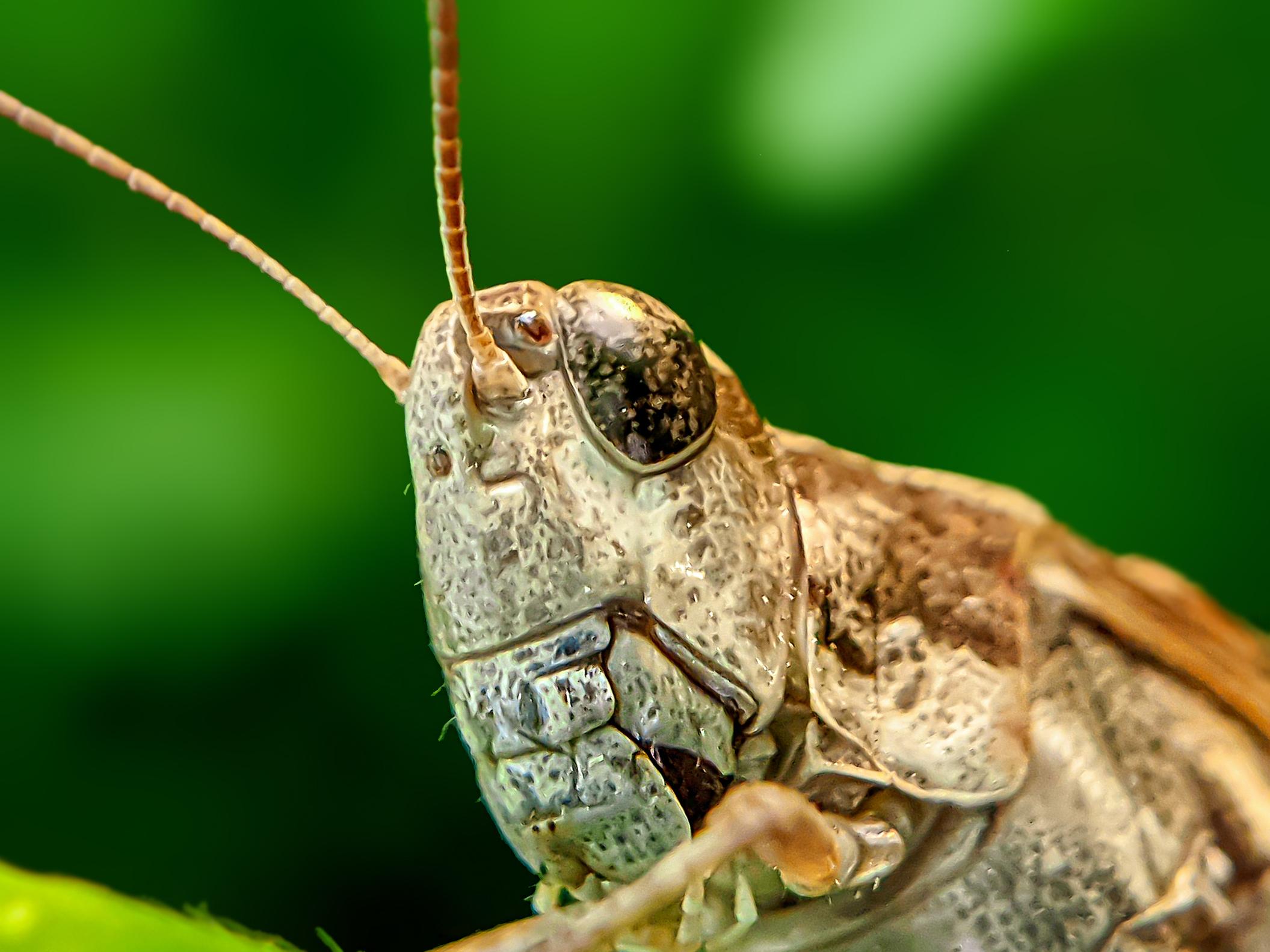 Grasshopper (2).jpg